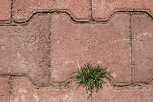 weeds growing through pavers